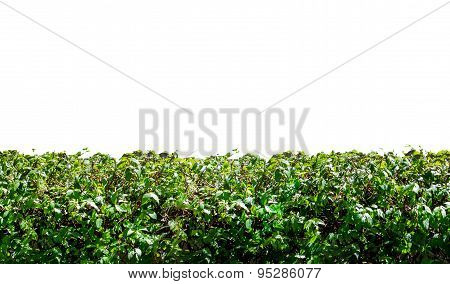 Grass Hedge Isolated On White Background