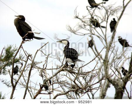 Shags Nesting