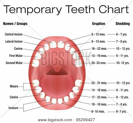 Temporary Teeth Primary Baby Eruption Shedding Chart