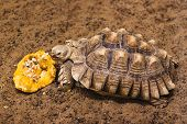stock photo of spurs  - African Spurred Tortoise also know as African Spur Thigh Tortoise  - JPG