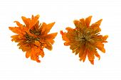 picture of chrysanthemum  - Pressed and Dried chrysanthemum flower photographed from the front and the back side - JPG