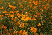 pic of cosmos flowers  - Yellow cosmos flowers in garden as background - JPG