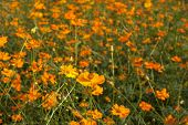 foto of cosmos flowers  - Yellow cosmos flowers in garden as background - JPG