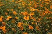 image of cosmos flowers  - Yellow cosmos flowers in garden as background - JPG
