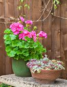 picture of leek  - Potted pink geranium and house leeks on a stone garden bench - JPG