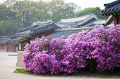 picture of seoul south korea  - Rhododendron blooming in Changdeokgung Palace in Seoul Korea with traditional houses on the background - JPG