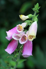 pic of digitalis  - Digitalis purpurea is both poisonous and a medicinal plant - JPG