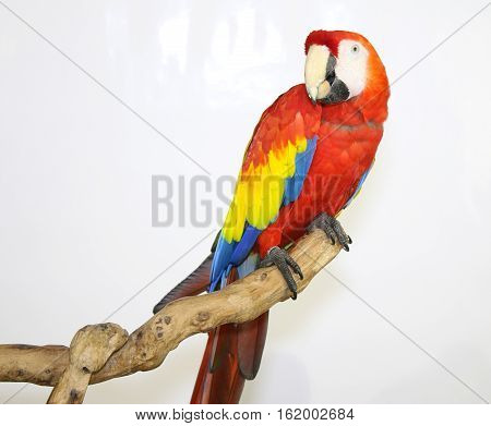 Colorful parrot landed on branch isolated on white Scarlet macaw