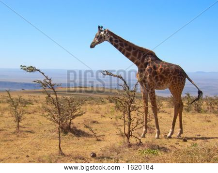 Una jirafa salvaje, Parque del Serengeti, Tanzania