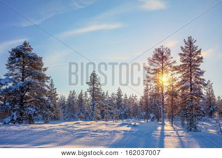 Winter Real  Golden Sundown - northern nature - snowy forest landscape