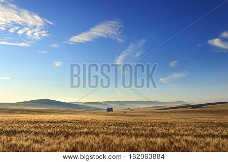 Rural landscape spring. Between Apulia and Basilicata:wheat field at dawn.ITALY. Hilly country:in the background abandoned farmhouses and bales of hay.