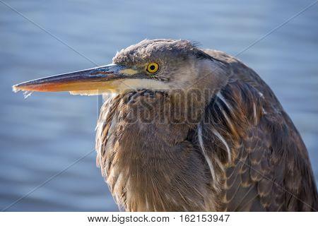 Great Blue Heron - Ardea Herodias, Juvenile. Sutro Baths, San Francisco, California, USA.