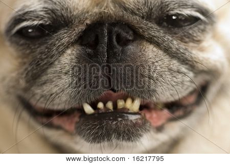 A pug with a cheeky smile.