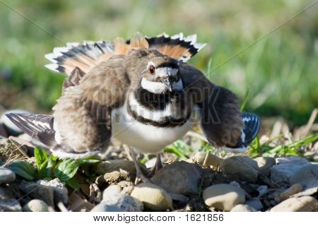 Defensive Killdeer
