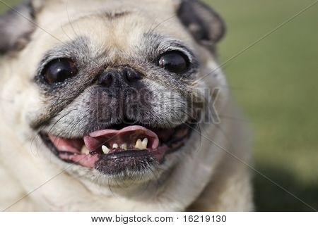 Smiling Fawn Pug