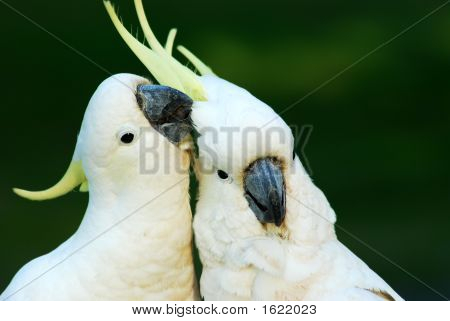 Cockatoos In Love 2