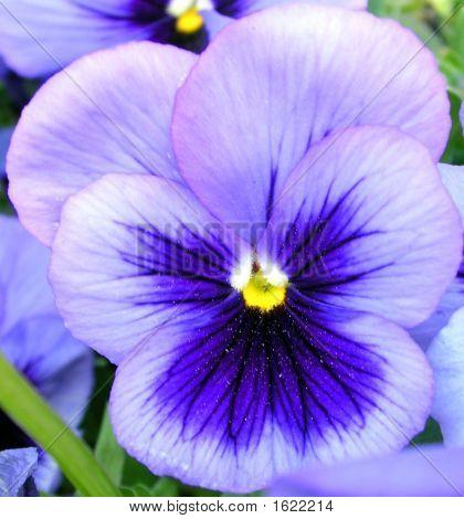 Cabeza de flor azul de pensamiento (Viola Tricolor)
