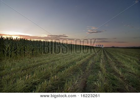 Sunset over field of corn crop