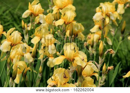 Horizontal image of beautiful yellow Irises in landscaped garden
