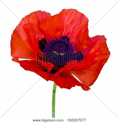 poppy. red poppy isolated on white background.red poppy. beautiful single flower head. red ranunculus isolated on white background