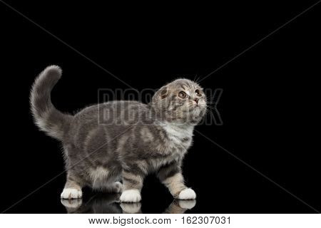 Cute little kitty scottish fold breed with tabby on body standing and looking up on isolated black background with reflection