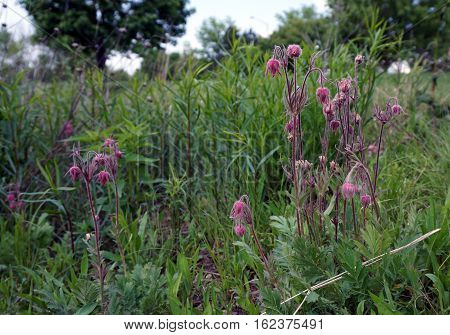 Geum triflorum (with the common names prairie smoke, three-flowered avens, and old man's whiskers) blooms in Joliet, Illinois during May.