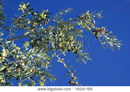 Olive tree branches with fruits in the field
