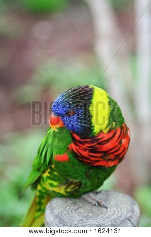 Lorikeet On A Perch