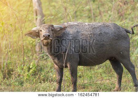 Thai buffalo in natural Thailand, Thai animal