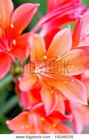 close up of a few orange and pink lilium