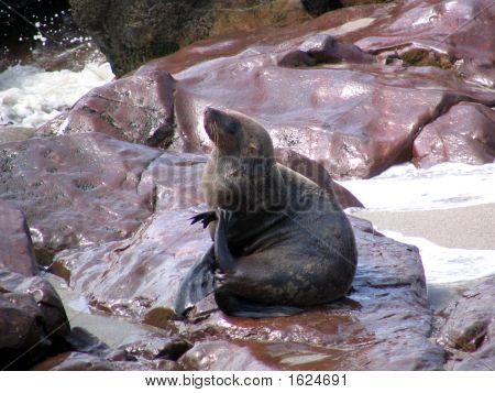 Itching Male Sealion