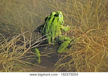 Green frog in the pond. Tree frog on leaf
