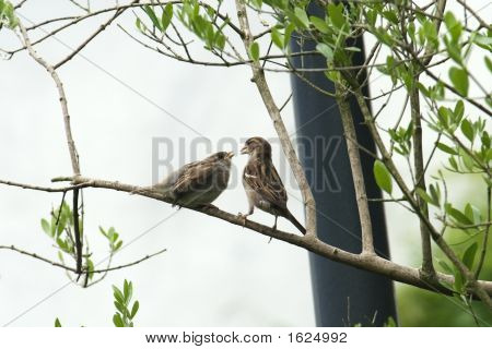 Sparrow And Young