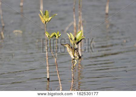 A Skinny sleek bird clinging on a juvenile tree