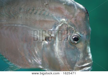 Lookdown Fish