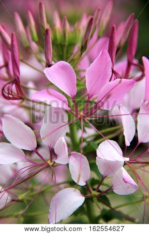 Vertical image of pretty pink flowers, some budding and others fully opened to the sunshine