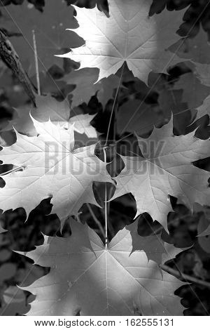 Black and white image of leaves in the woods