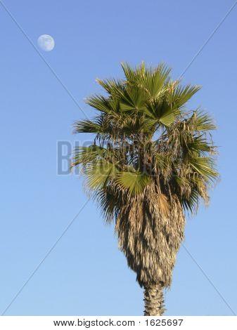 Palm_Moon