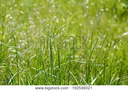 Texture of fresh green grass field used for background. Texture of bright long green grass meadow with sun lights  as background. Green grass. Natural background texture. Fresh spring green grass.
