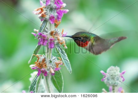 Humming Bird And Lambs Ear
