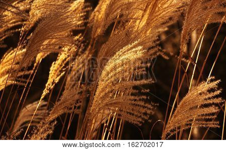 Closeup view of Plume grass on a windy day.