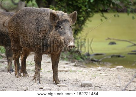 Wild Boar (sus Scrofa) Standing And Watching