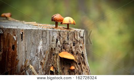 Toadstools growing on a stump. Poisonous mushrooms growing on a stump among in autumn forest.