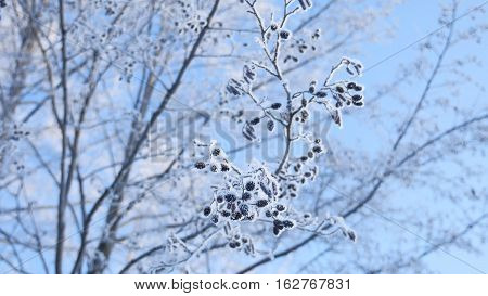 frozen branches linden tree in the snow on blue sky nature landscape winter