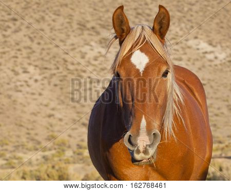 Wild Mustang Horse In The Nevada Desert.