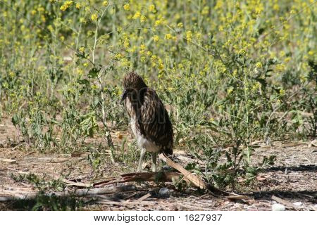 Black Crowned Night Heron Chick