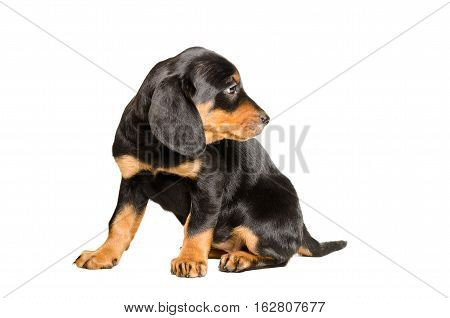 Curious puppy breed Slovakian Hound isolated on white background