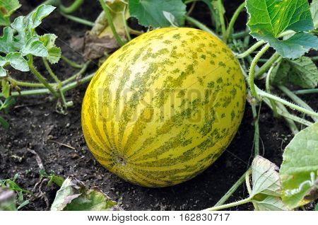 close-up of of ripening melon in the vegetable garden