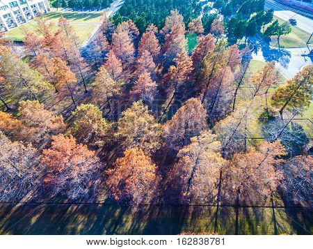 Straight Down Aerial Over Winter Trees brown and dropping their leaves rows and rows of Trees some almost dead trees and some golden brown trees