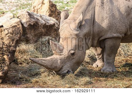 Portrait Of A White Rhinoceros Grazing